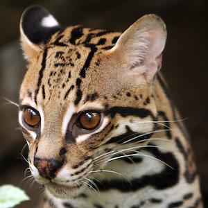 Serval Headshot Animal Yearbook
