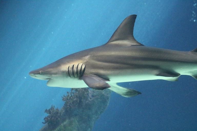 Shark swimming in the Shark Tank Aquarium