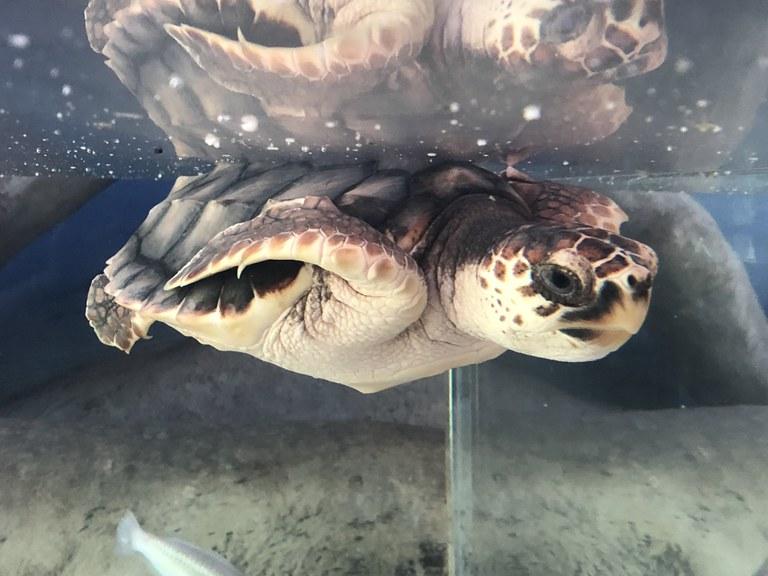 Shelldon the Sea Turtle in May 2018