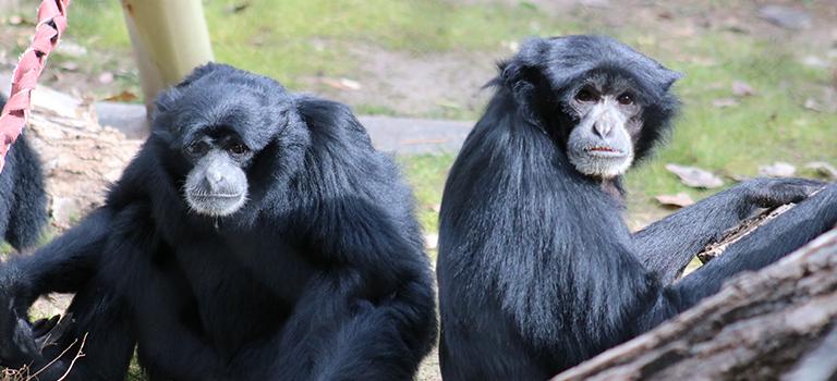 Brian and Johore Siamang