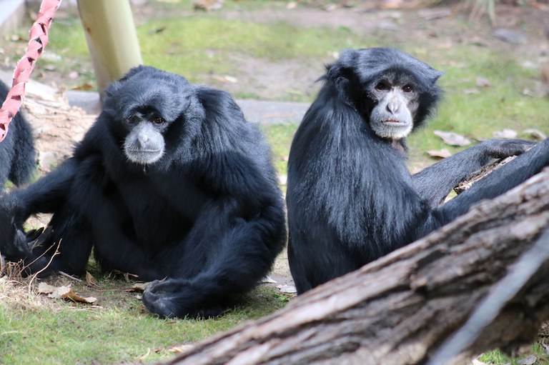 Two Siamangs at the BioPark