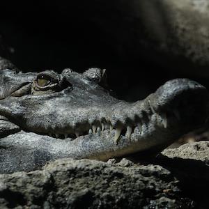 Slender Snouted Crocodile Headshot