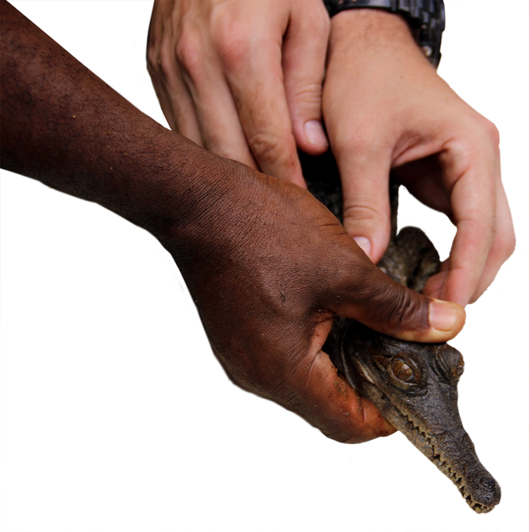 West African slender-snouted crocodile hand
