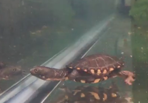 Snake Necked Turtle Baby 2020