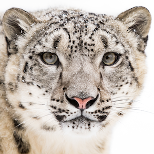 Snow Leopard Headshot Animal Yearbook