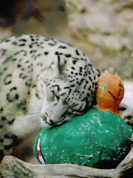 Snow leopard rubs toy