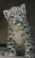 caption:Snow Leopard Cub