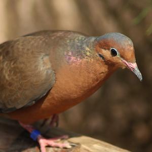 Socorro Dove Animal Yearbook