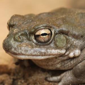 Sonoran Desert Toad Headshot Animal Yearbook