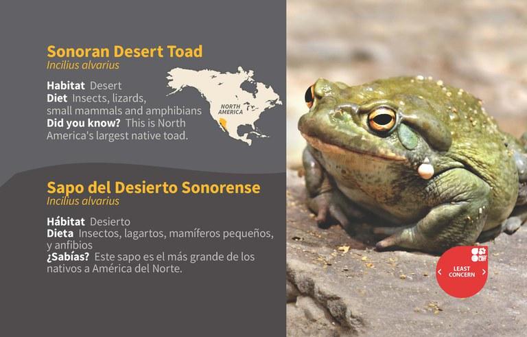 Sonoran Desert Toad ID 2020