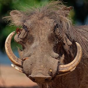 Southern Warthog Headshot Animal Yearbook