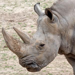 Southern White Rhino Headshot Animal Yearbook