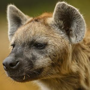 Spotted Hyena Headshot Animal Yearbook