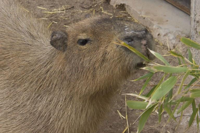 Capybara Spring