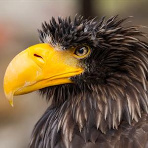 Steller's Sea Eagle Headshot