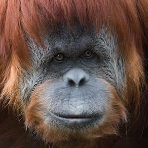 Sumatran Orangutan Headshot