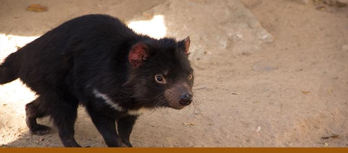 tasmanian devil banner 2015 mia