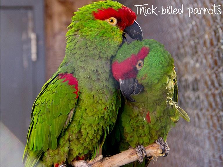 Thick-billed parrots best couple