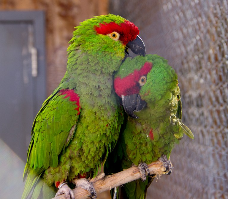 Thick-billed parrot couple