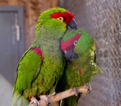 thick-billed-parrot-couple