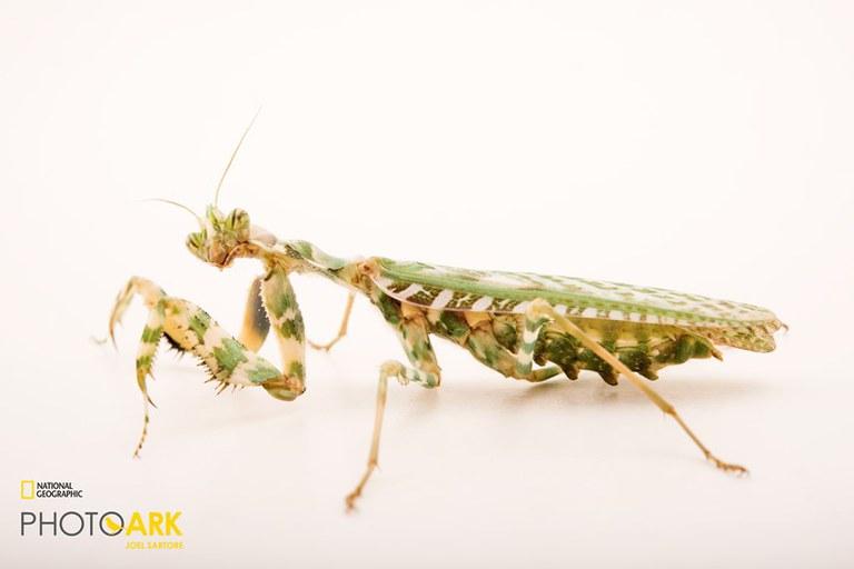 Thistle Mantis_Joel Sartore