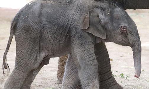 Thorn Elephant BioPark Spring 2018