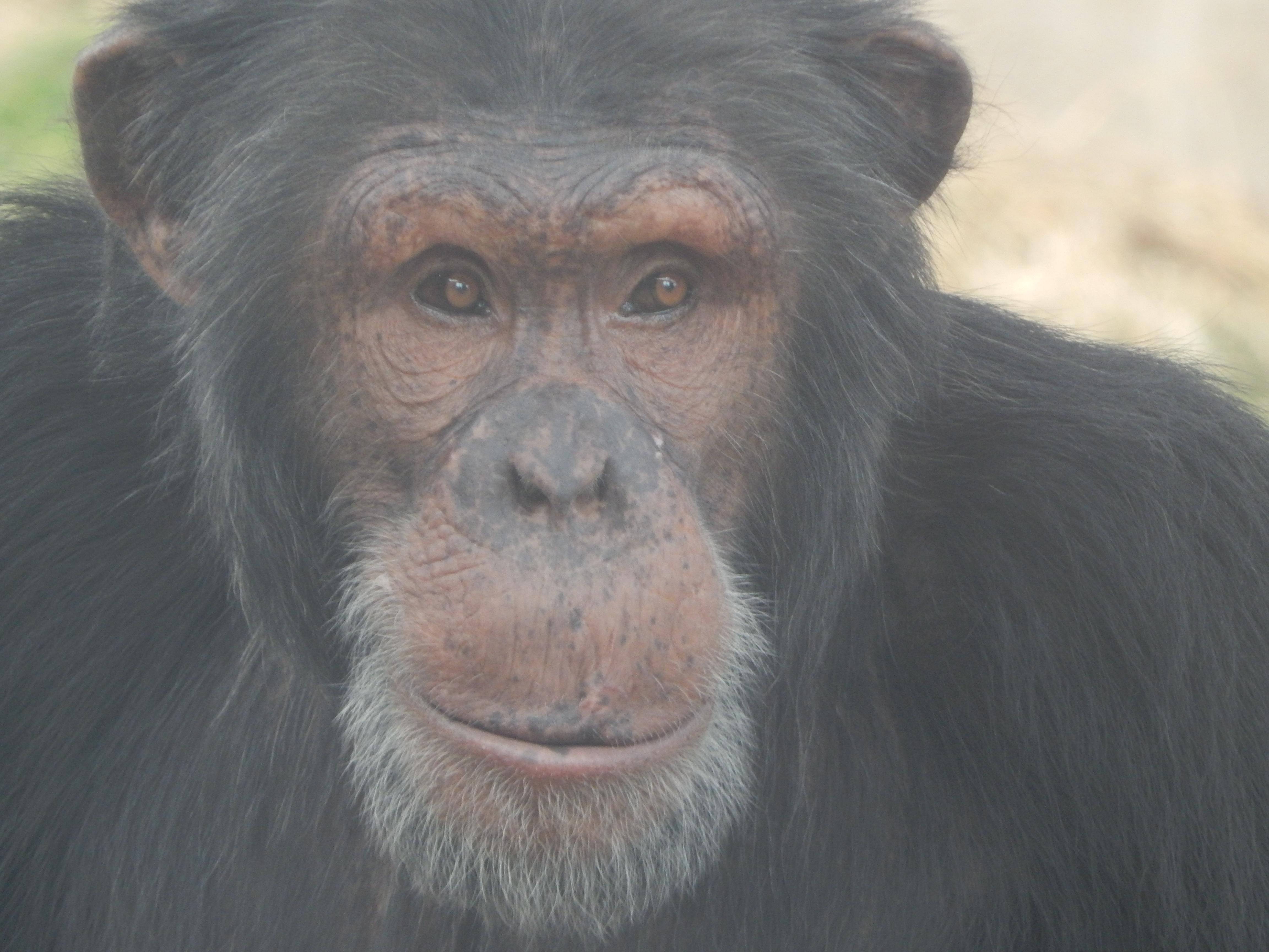Thunder Chimp