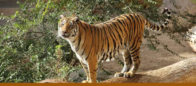 Tiger banner zoo