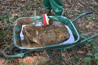 caption:A tortoise treatment in Abidjan.