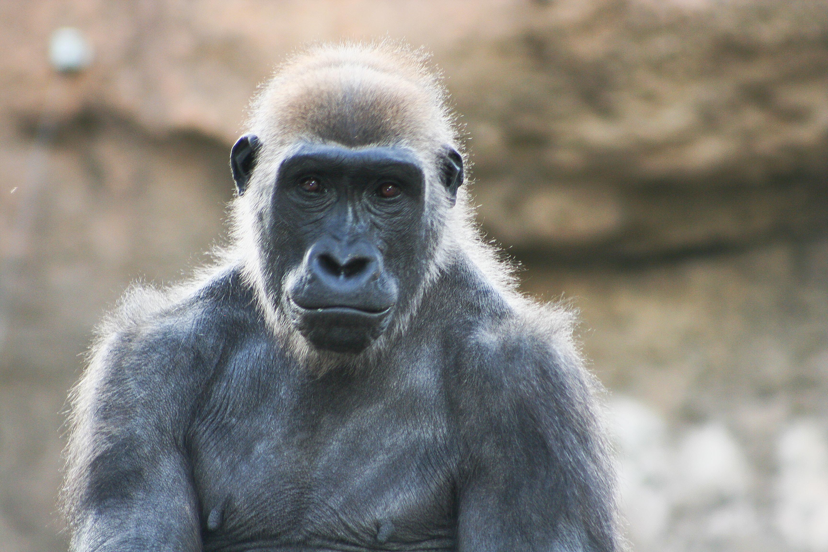 Tusa the gorilla