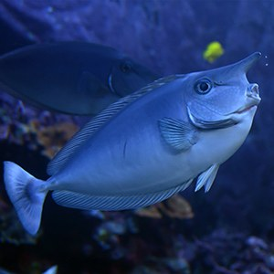 Unicornfish Headshot Aquarium Yearbook