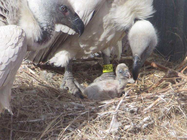 vulture chick 2018 biopark
