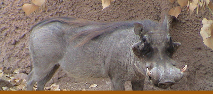 Warthogs Banner
