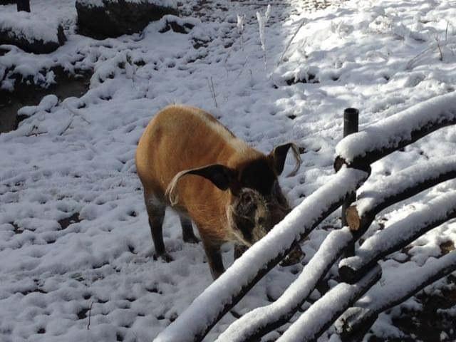 Warthog in Snow