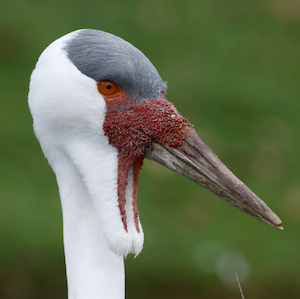 Wattled Crane Headshot