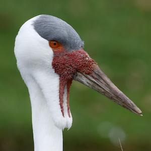 Wattled Crane Headshot Animal Yearbook
