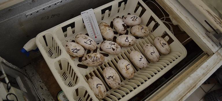 crocodile-eggs-biopark-abidjan-zoo