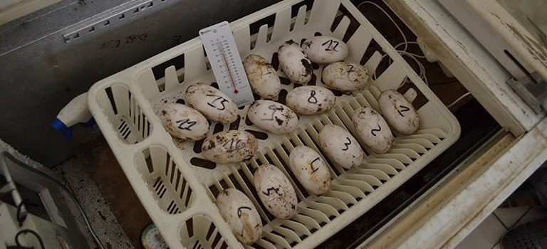 Crocodile Eggs at Abidjan Zoo