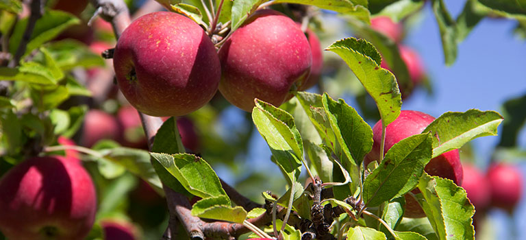 heritage-farm-apple-tree
