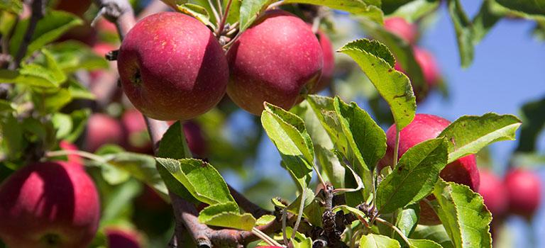 Garden Tours Heritage Farm Apples