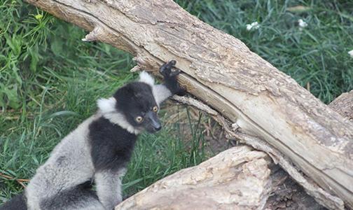 baby-lemur-biopark