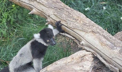 Izy Lemur June 2018
