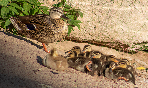 mother-duck-ducklings-biopark