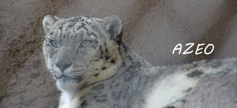 Azeo Snow Leopard