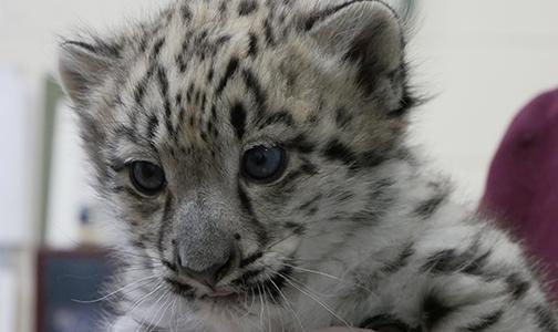 Baby Snow Leopard 2018