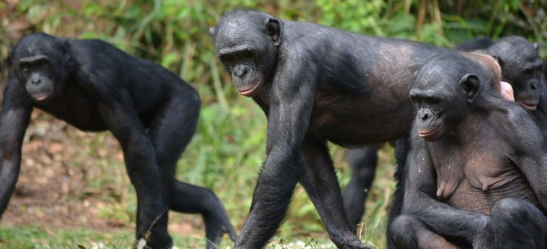 Great Apes Feature Wild Bonobos