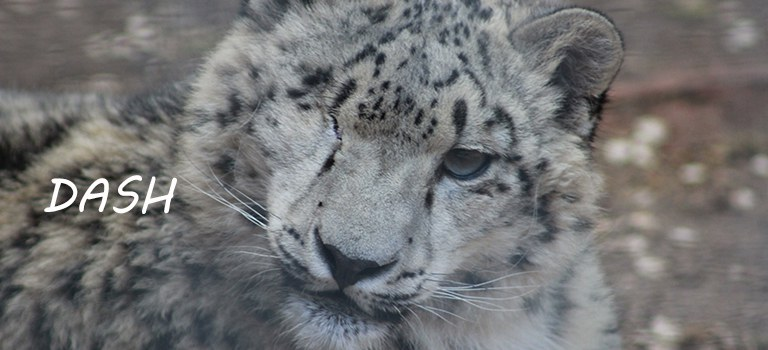Dash Snow Leopard
