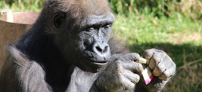 Great Apes Feature Gorilla Enrichment