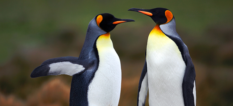 King penguins courtship stock photo