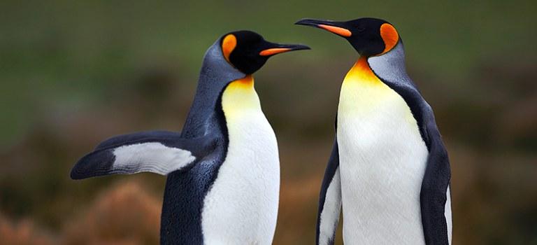 King Penguins Courtship